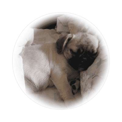little sleeping pug sticker